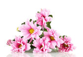 Branch of beautiful pink chrysanthemums on white background close-up — Stock Photo