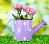 Colorful chrysanthemums in violet watering can with white polka dot on gree — Stock Photo