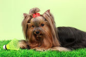 Beautiful yorkshire terrier with lightweight object used in badminton — Foto de Stock