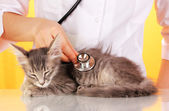 Veterinarian examining a kitten on yellow background — Stock Photo