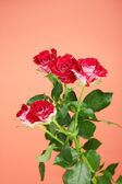 Beautiful vinous roses on red background close-up — Stock Photo