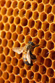 Yellow beautiful honeycomb with honey and bee, background — Stock Photo