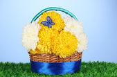 Beautiful chrysanthemum in basket on grass on blue background — Stock Photo