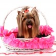 Royalty-Free Stock Photo: Beautiful yorkshire terrier in basket isolated on white