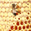 Yellow beautiful honeycomb with honey and bee, background - 图库照片
