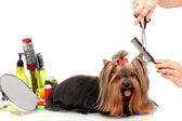 Grooming the yorkshire terrier isolated on white — Stok fotoğraf