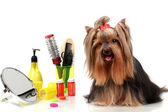 Beautiful yorkshire terrier with grooming items isolated on white — Stok fotoğraf