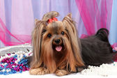 Beautiful yorkshire terrier on background fabric — Stockfoto