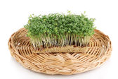 Fresh garden cress on wicker cradle isolated on white — Stock Photo