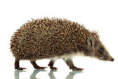 Hedgehog, isolated on white — Stock Photo