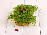 Fresh garden cress with ladybugs close-up on wooden table — Stock Photo