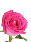 Beautiful pink rose on white background close-up — Stock Photo