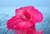 Beautiful bud of pink gladiolus on blue background close-up — Stock Photo