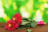 Beautiful red dahlias on bright colorful background close-up — Stock Photo
