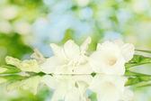 Branch of white gladiolus on green background close-up — Stock Photo