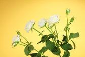 Beautiful white roses on yellow background close-up — Stock Photo