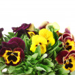 Beautiful violet pansies in basket isolated on a white - Foto Stock