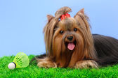 Beautiful yorkshire terrier with lightweight object used in badminton on gr — Stock Photo