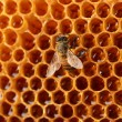 Yellow beautiful honeycomb with honey and bee, background — Stock Photo #13197160