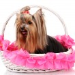 Beautiful yorkshire terrier in basket isolated on white — Stock Photo