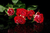 Beautiful vinous roses on black background close-up — Stock Photo