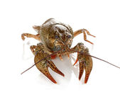 Green crawfish isolated on white close-up — Stock Photo