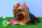Hermoso yorkshire terrier con objeto ligero utilizado en bádminton en gr — Foto de Stock