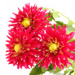 Beautiful red dahlias on white background close-up -  