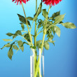 Beautiful red dahlias in vase on blue background - Zdjcie stockowe