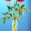 Beautiful red dahlias in vase on blue background -  
