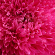 Stock Photo: Pink aster flower, close up