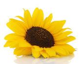 Beautiful sunflower, isolated on white — Stock Photo
