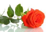 Orange rose isolated on white — Stock Photo