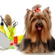 Beautiful yorkshire terrier with grooming items isolated on white — Stock Photo