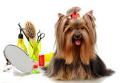 Beautiful yorkshire terrier with grooming items isolated on white — 图库照片
