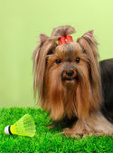 Beautiful yorkshire terrier with lightweight object used in badminton on grass on colorful background — Zdjęcie stockowe