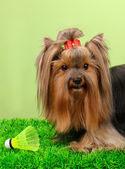 Wunderschöne yorkshire-terrier mit lightweight-objekt im badminton auf gras auf farbigen hintergrund — Stockfoto