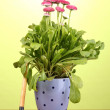Pink flowers in pot with instruments on wooden table on green background — ストック写真