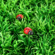 Ladybirds on green grass - Stock Photo