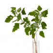 Plant in test-tube close-up isolated on white - Stock Photo