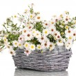 Beautiful bouquet of white flowers in basket isolated on white — Stock Photo