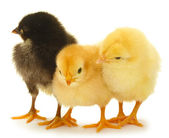 Three little chickens isolated on the white — Stock Photo