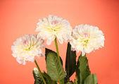 Mooie witte dahlia's op rode achtergrond close-up — Stockfoto