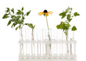 Test-tubes with a transparent solution and the plant isolated on white back — Stock Photo