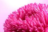 Mooie aster bloem, op roze achtergrond — Stockfoto