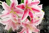 Beautiful pink lily, on grey background — Stock Photo