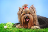 Linda yorkshire terrier com objeto leve usado no badminton na grama em fundo colorido — Foto Stock