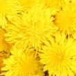 Dandelion flowers close-up - 图库照片