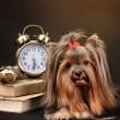 Beautiful yorkshire terrier surrounded by antiques on colorful background — Stock Photo