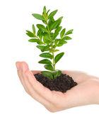 Planta joven en mano aislado en blanco — Foto de Stock